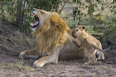 African Lion Cubs And Father Poster by Suzi Eszterhas