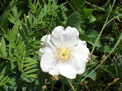 Alberta Wild Prickly White Rose Poster by Mark Lehar