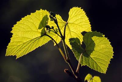 Amur River Grape Leaves (vitis Amurensis) Poster by Dr. Nick Kurzenko