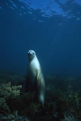 An Australian Sea Lion On Alert Poster by David Doubilet