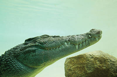 An Estuarine Saltwater Crocodile Poster by Jason Edwards