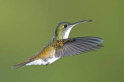 Andean Emerald Hummingbird Poster by Tony Camacho