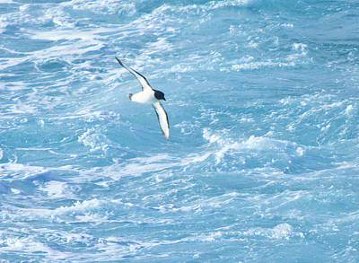 Antarctic Petrel Poster by Kelly Cheng Travel Photography
