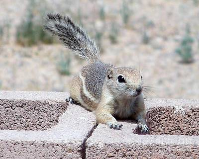 Antelope Ground Squirrel Poster by Desert Harmony