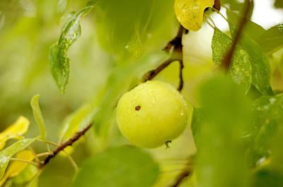 Apple Taste Of Summer Poster by Jenny Rainbow