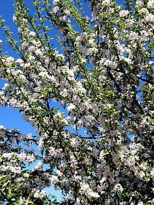 Apple Tree In Bloom Poster by Will Borden