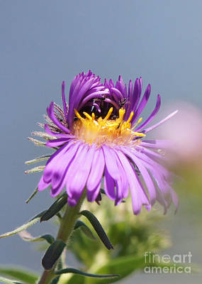 Asters Starting To Bloom Poster by Robert E Alter Reflections of Infinity