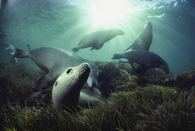 Australian Sea Lions Swim In The Waters Poster by David Doubilet