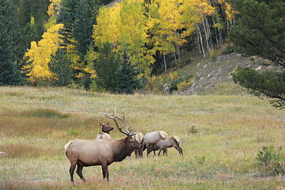 Autumn Elk Poster by David Wilkinson