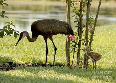 Baby Sandhill With Mom Poster by Carol Groenen