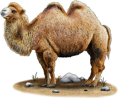 Bactrian Camel Poster by Roger Hall and Photo Researchers
