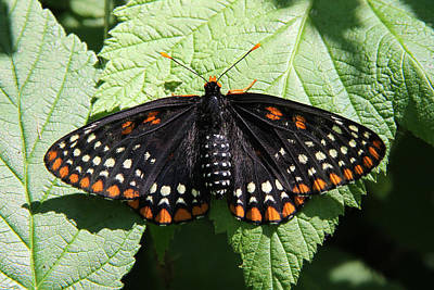 Baltimore Checkerspot Butterfly With Wings Spread Poster by Doris Potter