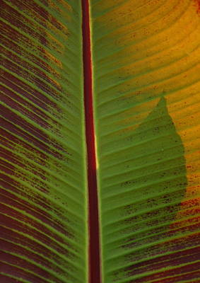 Banana Plant Leaf Poster by Lyle Hatch
