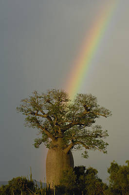 Baobab Adansonia Sp And Rainbow Poster by Pete Oxford