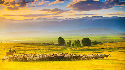 Bathed In Sunset Light Sheep On Grassland Poster by Feng Wei Photography