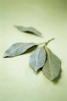 Bay Leaves (laurus Nobilis) Poster by Veronique Leplat