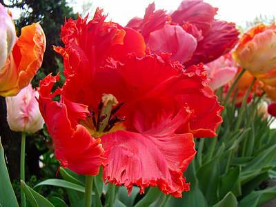 Beautiful From Inside And Out - Parrot Tulips In Philadelphia Poster by Mother Nature