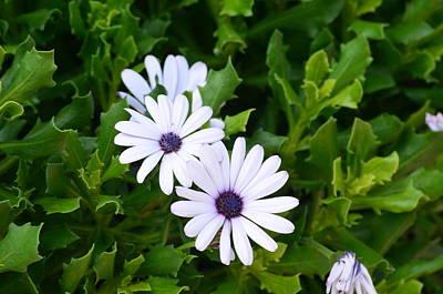 Beautiful Osteospermum Asti White Daisy Poster by Carrie Munoz