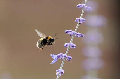 Bee Flying Towards Flowers Poster by Darren Moston