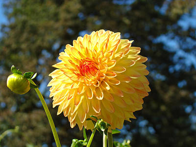 Best Selling Orange Yellow Dahlia Flower Floral Baslee Poster by Baslee Troutman