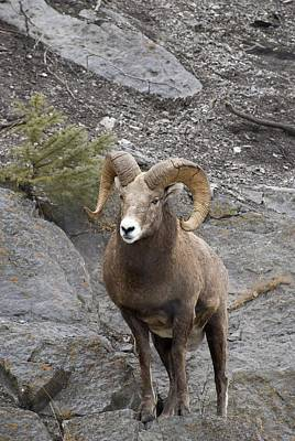 Bighorn Sheep Ovis Canadensis Poster by Philippe Widling