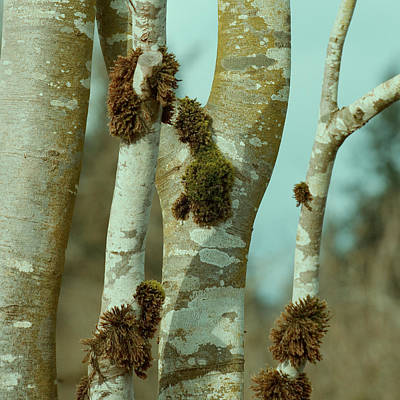 Tree Bark Poster featuring the photograph Birch by Bonnie Bruno