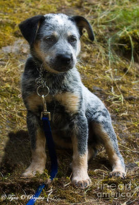 Blue Heeler Pup Poster by Tyra  OBryant