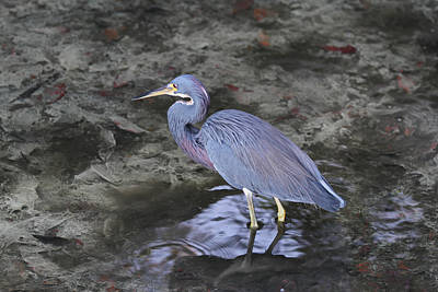 Blue Heron In Estero Bay Poster by Juergen Roth