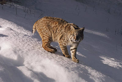 Bobcat Felis Rufus Prowls Over The Snow Poster by Dr. Maurice G. Hornocker