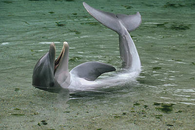 Bottlenose Dolphin Playing In Shallows Poster by Flip Nicklin
