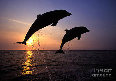 Bottlenose Dolphins Poster by Francois Gohier and Photo Researchers