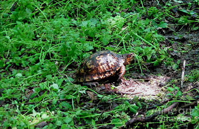 Box Turtle  Poster by The Kepharts