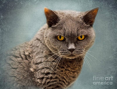 British Blue Shorthaired Cat Poster by Louise Heusinkveld