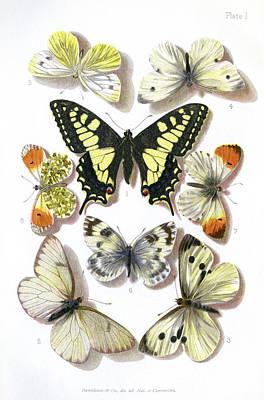 British Butterflies, 1897 Poster by Maria Platt-evans
