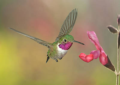 Broadtail Hummingbird At Salvia Poster by Gregory Scott