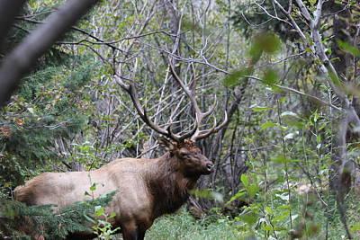 Bull Elk In The Forrest Poster by David Wilkinson