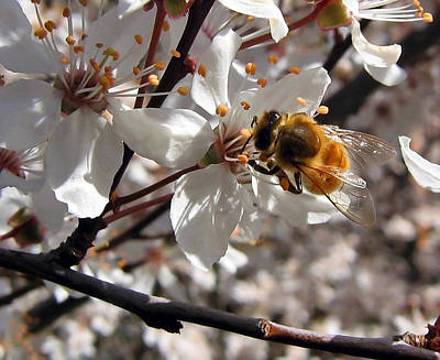 Bumble Bee On A Cherry Blossom Poster by Tyra  OBryant