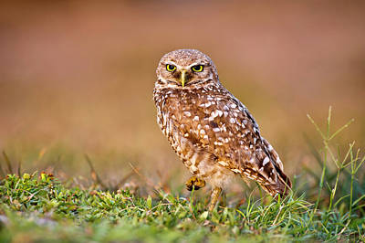 Burrowing Owl Poster by TNWA Photography
