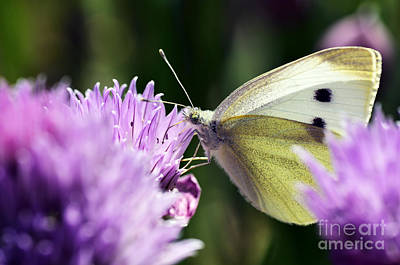 Butterfly On Chives Poster by Thomas R Fletcher