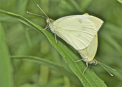Cabbage White Butterflies 5267 Poster by Michael Peychich