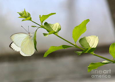 Cabbage White Butterfly Poster by Danielle Groenen