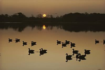 Canada Geese And Decoys Silhouetted Poster by Kenneth Garrett