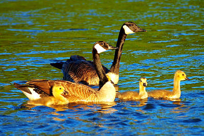 Canada Geese Family Poster by Paul Ge