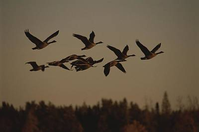 Canada Geese Fly In A Group Poster by Raymond Gehman