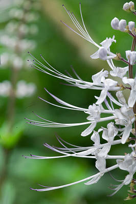 Cat's Whiskers Flowers Poster by Wendy White