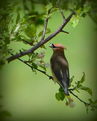 Cedar Wax Wing Poster by Carol Norman