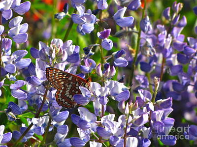 Chalcedon Checkerspot Amid Prairie Lupin Poster by Sean Griffin