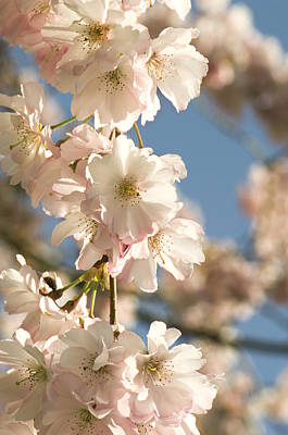Cherry Blossom (prunus 'accolade') Poster by Adrian Thomas