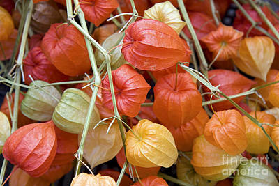 Chinese Lantern Flowers Poster by Jane Rix