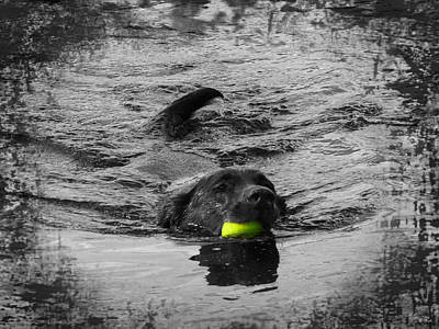 Chocolate Lab Poster by Ms Judi